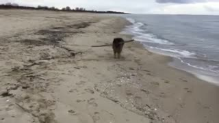 German Shepherd carrying a big stick while walking sea side
