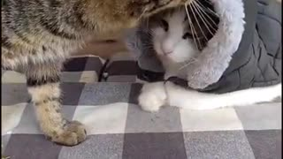 Animal Videos   Cats showing love to owners