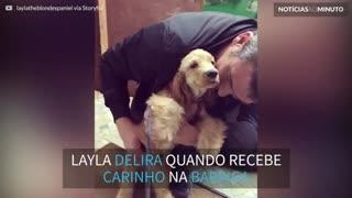 Layla, a Cocker Spaniel que ama carinho na barriga