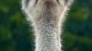 Singing Ostrich