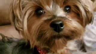 Pandemic Talking Dog - sings a song