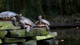top video viral (Tortoise) D'Souza BonginoReport The Dan Bongino Show One America News Network