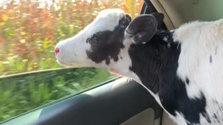 Calf in Car Wants a Bite of Some Corn