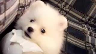 Pomeranian pom pom