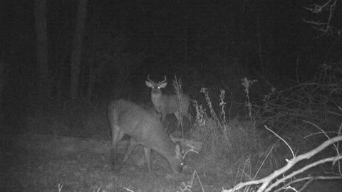 Large 7 point buck feeding while 8 point patiently waits his turn