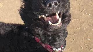 Dog Looks Majestic Along the Windy Shoreline of England