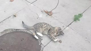 My tiger kitty playing with leafs🥰😻😻