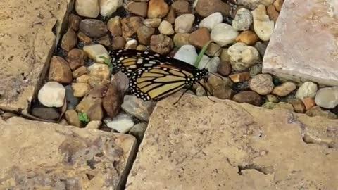 A Beautiful Monarch Butterfly