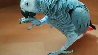 Weirdo parrot walks down the stairs instead of flying