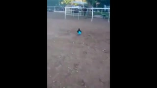 Funny moment: a hen in pants