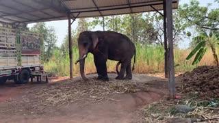 Amazing #พบช้างสีประหลาด elephant