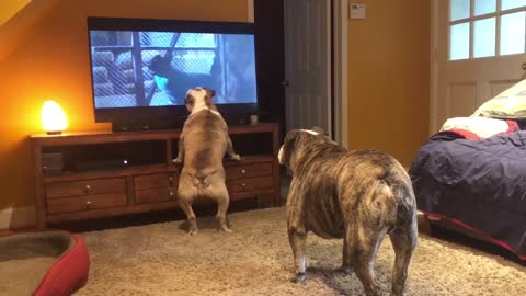 Bulldogs frantically warn dogs of danger in classic horror scene