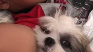 Shih Tzu puppy preciously naps with human best friend