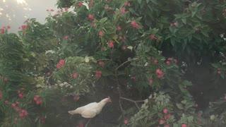 Parkour Chicken