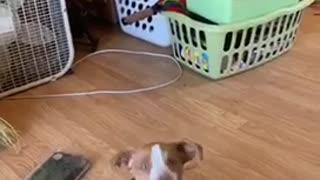 Beagle puppy talking