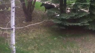 Curious Corgi Interrupts Hungry Moose