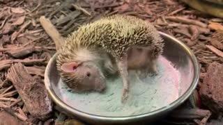 Cute little hedgehog?