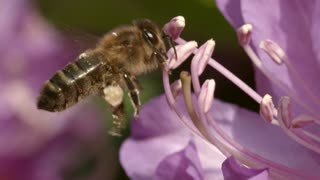 Lazy Female Bee Jumping Between Flowers