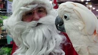 Moluccan Cockatoo adorably meets Santa Claus