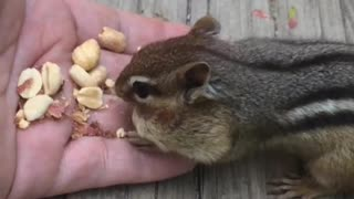 Chipmunk Eating from a Hand