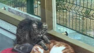 Cute Cat Buddies Enjoy Massage Time