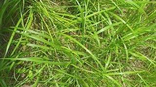 Grass shines