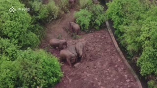 Elephant herd tracks through forest in China