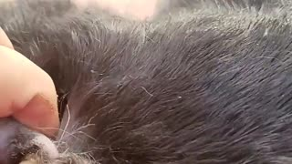 Botfly Removed from Rescued Rabbit