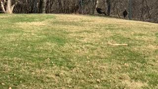 Turkeys wild