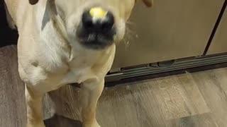 Doggo Struggles to Get Cheese Spread Off His Nose