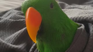 Cute Parrot in his Blanky says Hello