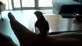 Cockatiel Sings Popeye