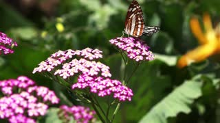 Butterflies collecting nectar from eye catching flowers