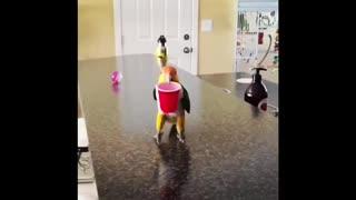 Happy Caique parrot loves to hop