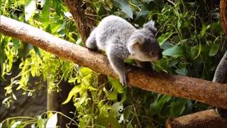 Baby Koala - cute cute cute