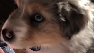 Puppy gets frightened by his reflection in mirror