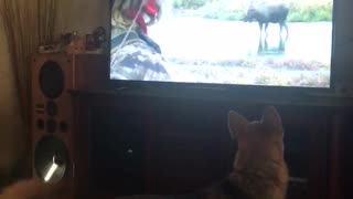 Dog watches moose on tv