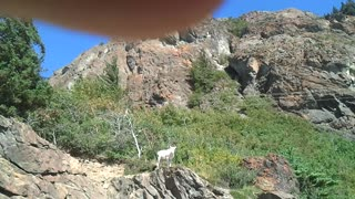 Doll Sheep in Alaska