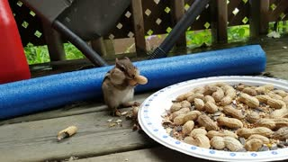 Chipmunk is nuts for peanuts