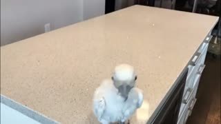 Baby Parrot Dancing on a song in a crazy Way