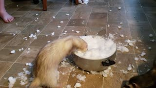 Ferrets at play