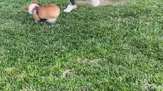 Corgi Pup Doesn't Want To Go Home Yet