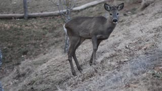 Little Deer Eats Raw Food In Nature Forest