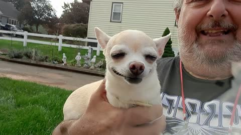 Corgi has chihuahua for a couzzin
