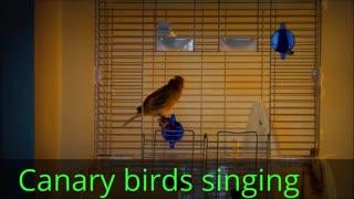 canary birds singing