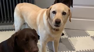 Patient dogs perform tricks for their lunch