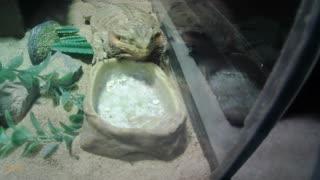 bearded dragon eating habits