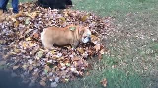 Doggy Plays Hide and Seek in Leaf Pile