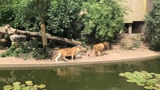 Heron Ambushed by Lion while Hunting for Fish