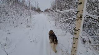 Husky playing in Snow Huskies